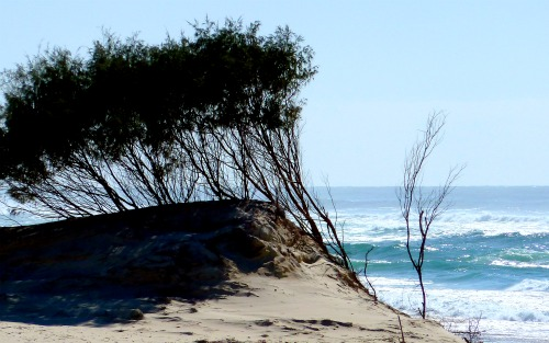 Image of wind swept bushes on the beach with the sea in the background