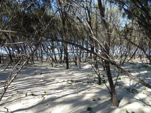 Silky oak trees create some shade behind the beach