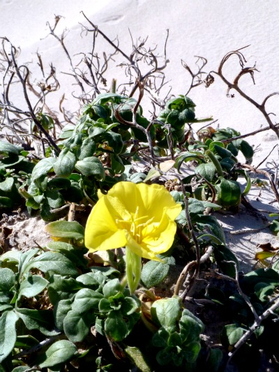 Gorgeous yellow flower growing in the sand dunes