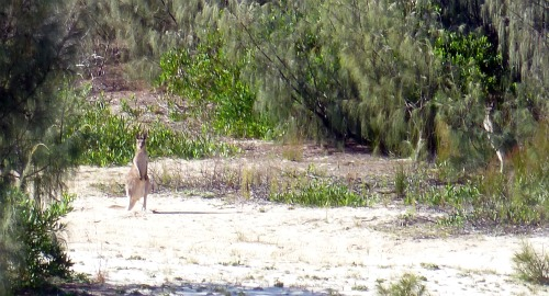 Kangaroo hiding in the sand dunes