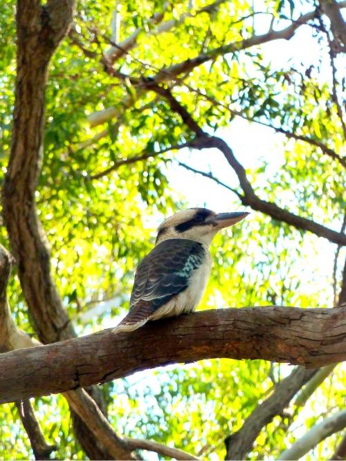 Image: Kookaburra