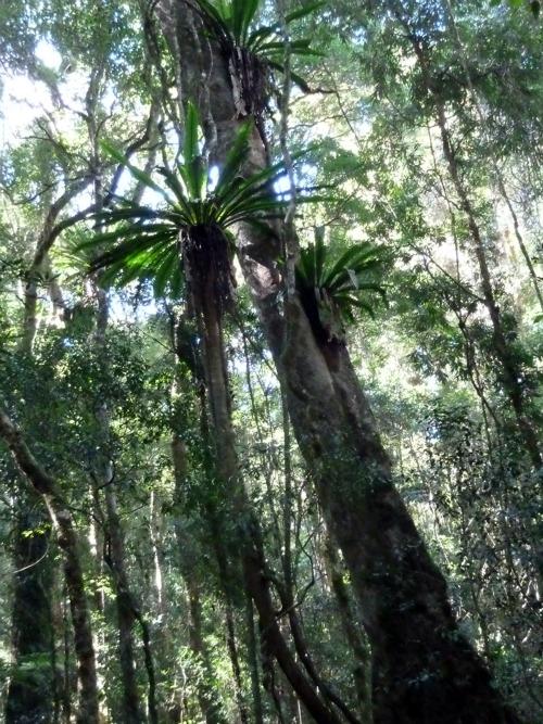 Australia Rainforest ~ Moran's Falls track