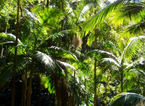 Piccabeen Palms, Lamington National Park