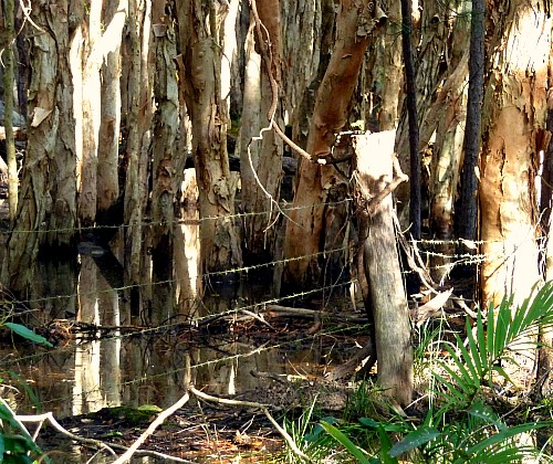 Swamp Paperbark Trees Australia