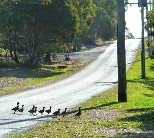 Ducks crossing the road