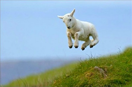 Spring Lamb frolicking