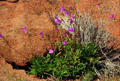 Uluru wildflowers
