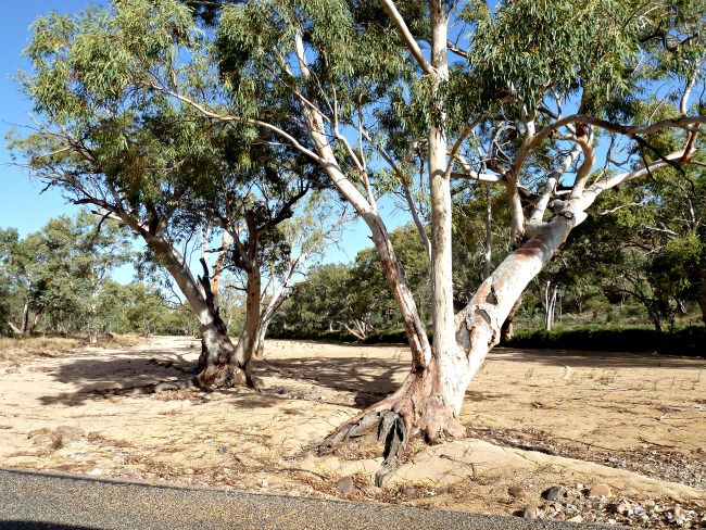 eucalypt tree in creek bed