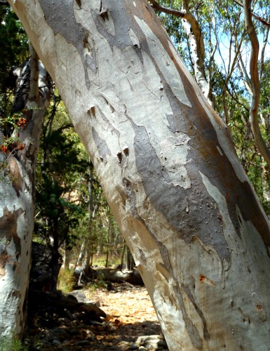 The beautiful bark of a Eucalyptus tree