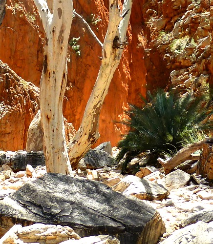 The contrasting colours of the red walls of Standley Chasm against the white eucalpt tree trunks