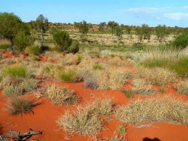 spinifex central australia