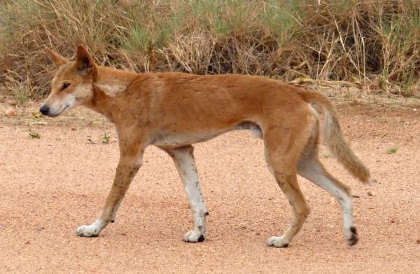dingo Devils Marbles