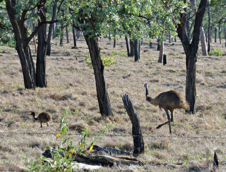 Image: Emu