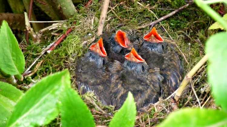 Red beaks of Dunnocks, Hedge Sparrows