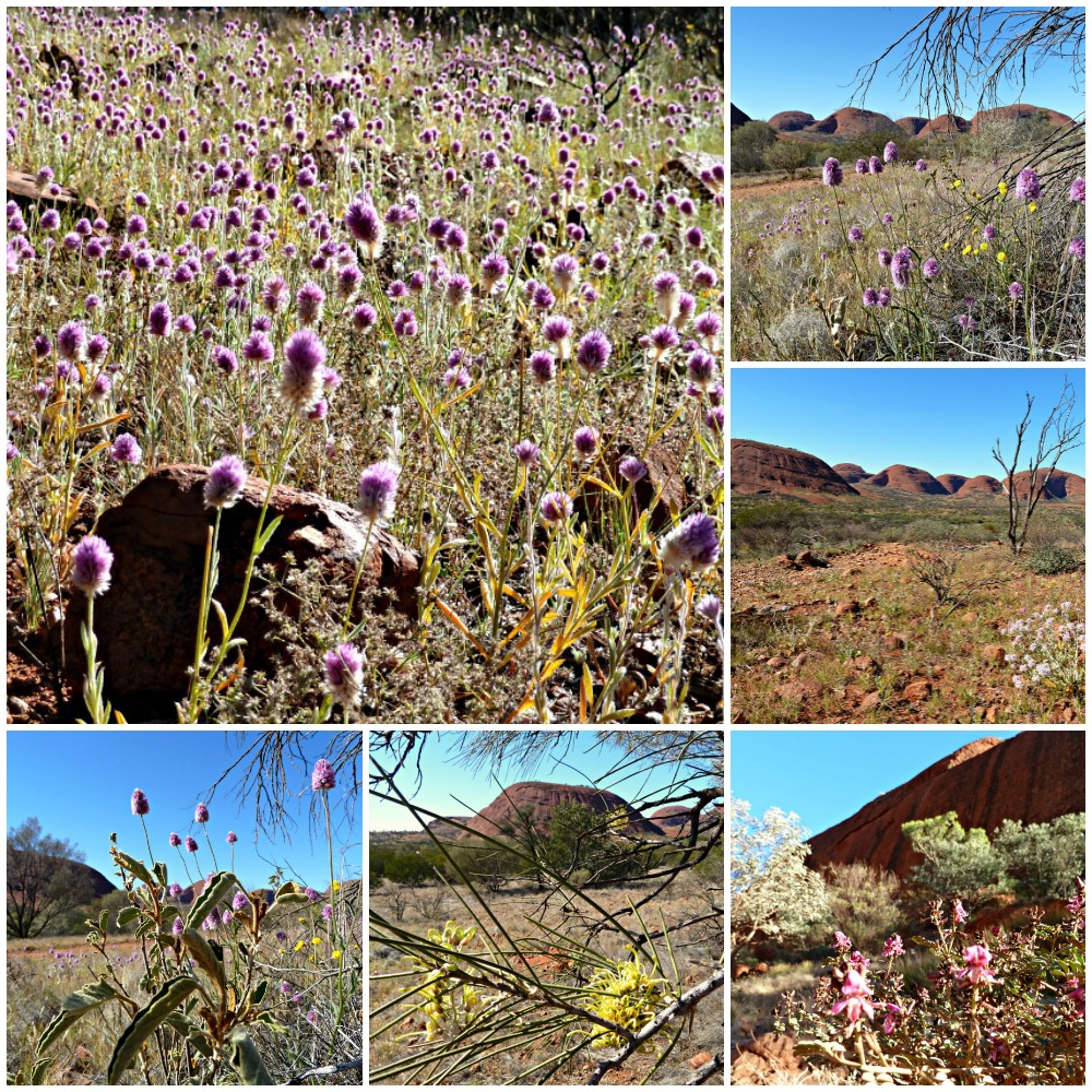 Wildflowers Kata Tjuta