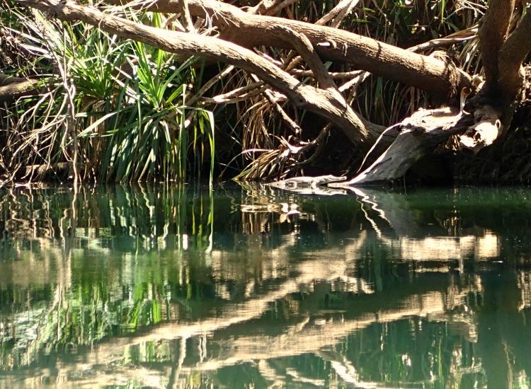 freshwater crocodile katherine