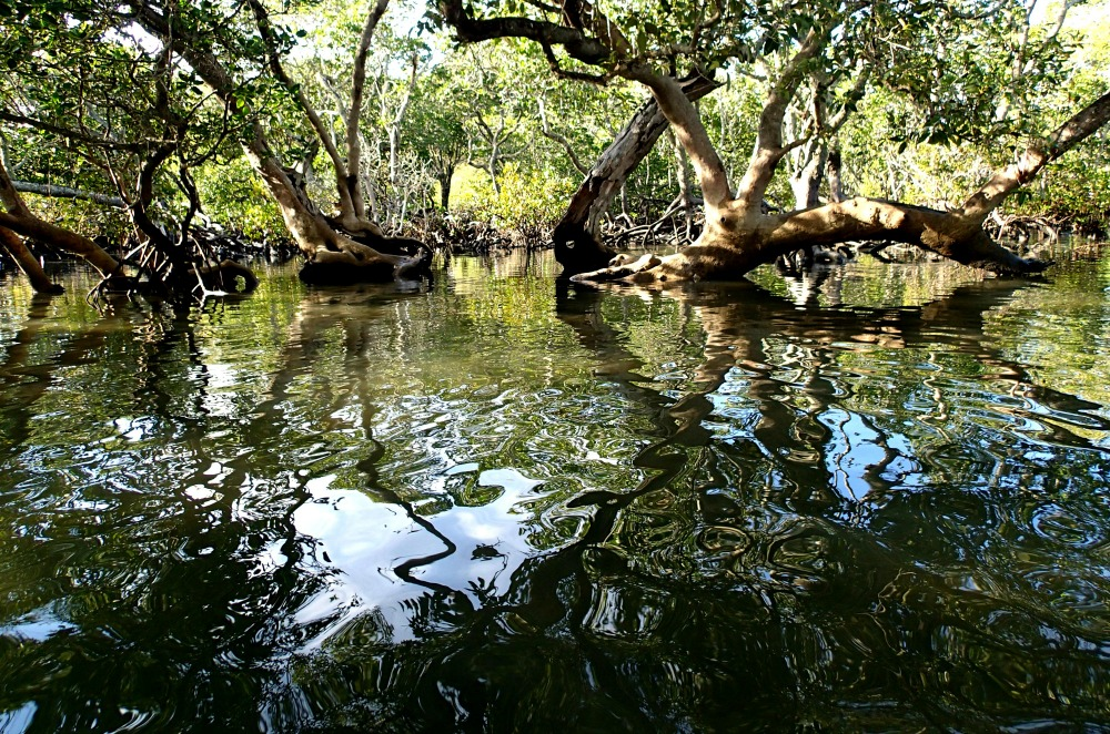 Mangroves Moreton Bay