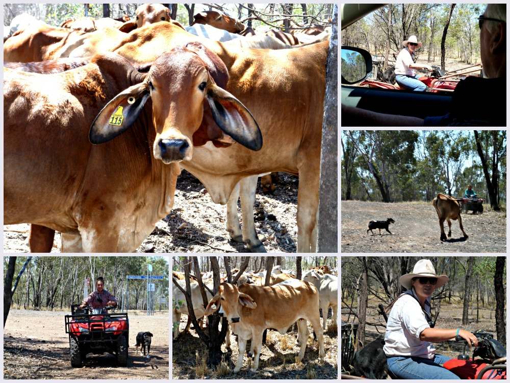 Outback Queensland road trip we came across this herd of cattle on a drove from Winton
