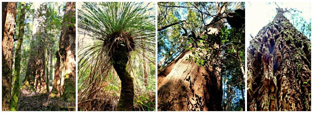Stunning trees on Daves Creek Circuit