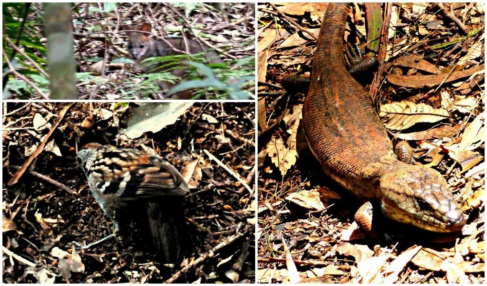 Binna Burra wildlife