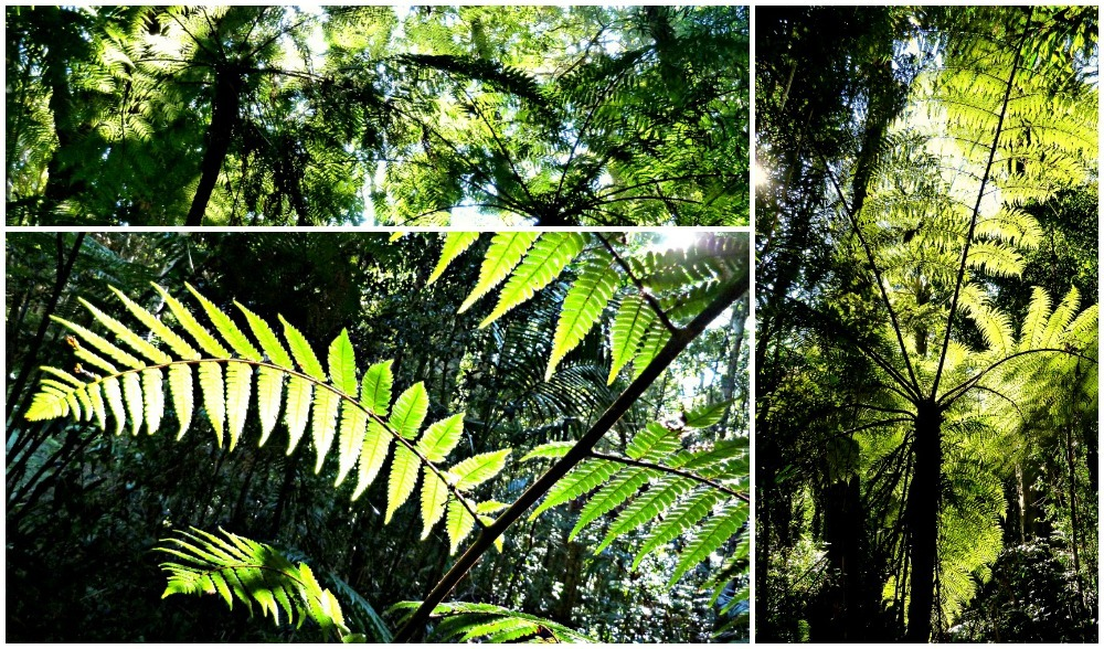 Tree Ferns in the Binna Burra rainforest