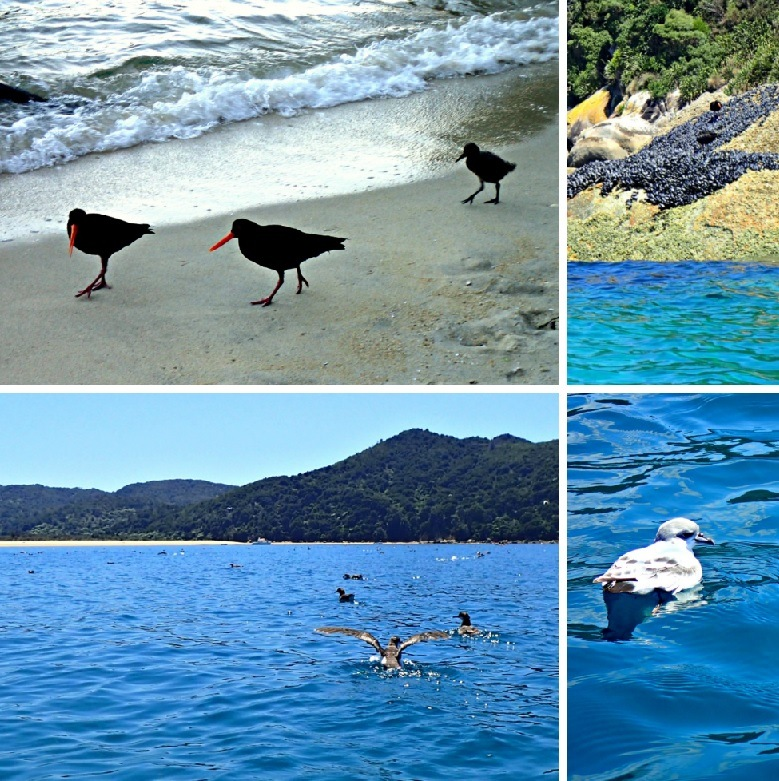 Oyster catchers and seagulls in the Bay off Abel Tasman NP