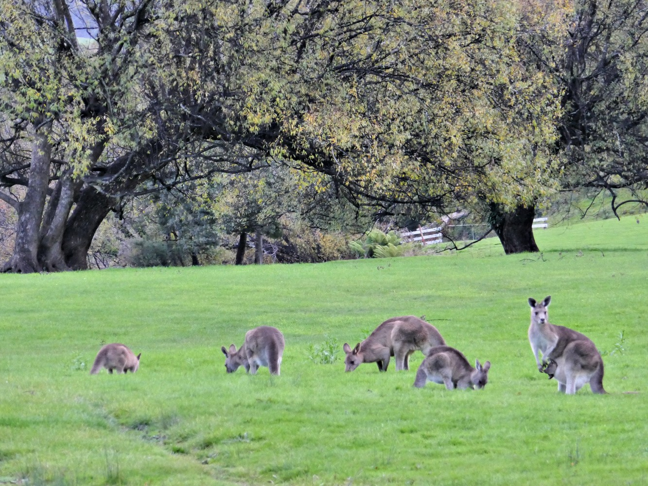 A mob of kangaroos in Australia grazing on grass